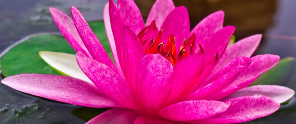 Lotusblüte offen